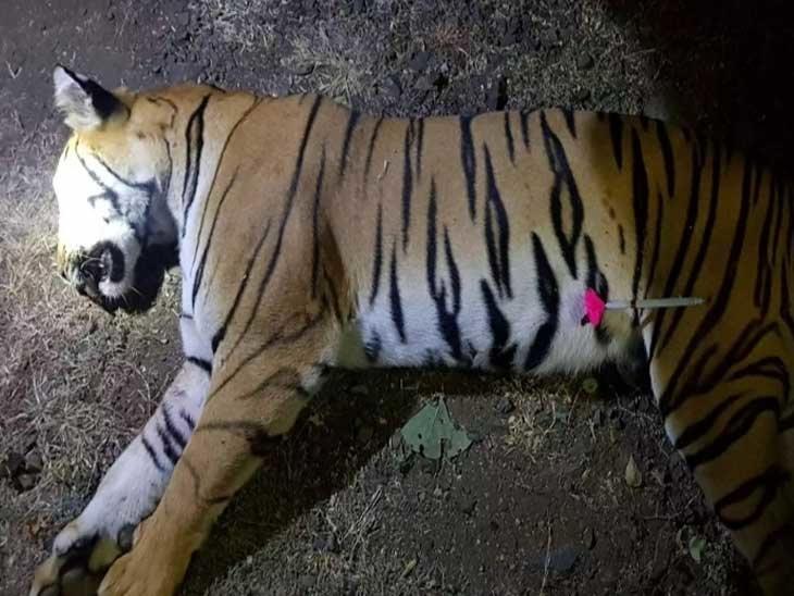 Adarsh Maharashtra | टी-1 वाघिणीला बेशुद्ध करण्याचे प्रयत्नच झालेच नाहीत, हायकोर्टात दाद मागणार- डॉ.जेरील बानाईत