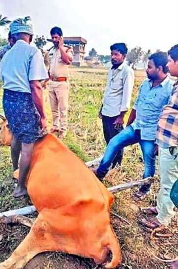 Adarsh Maharashtra | मानवी क्रौर्याची परिसीमा; आंध्र प्रदेशात गरोदर गायीवर बलात्कार